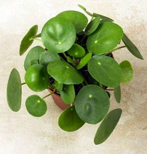 Chinese Money Plant for indoor garden