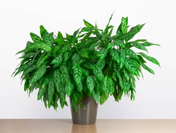 Chinese evergreen plant for indoor garden