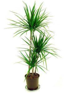 Dragon Tree for indoor garden