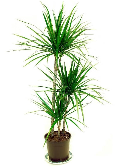 Dragon Tree for indoor garden