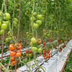 Growing Hydroponic Tomatoes - All You Need To Know