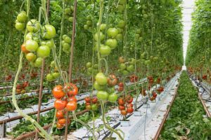 Growing Hydroponic Tomatoes