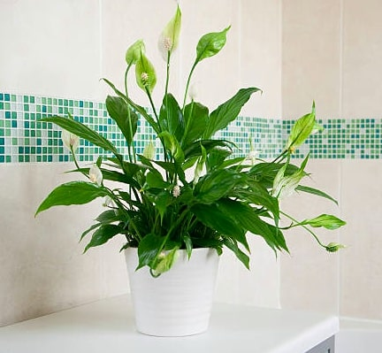 Peace Lily in indoor plant gardens