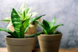 Snake Plant for indoor garden