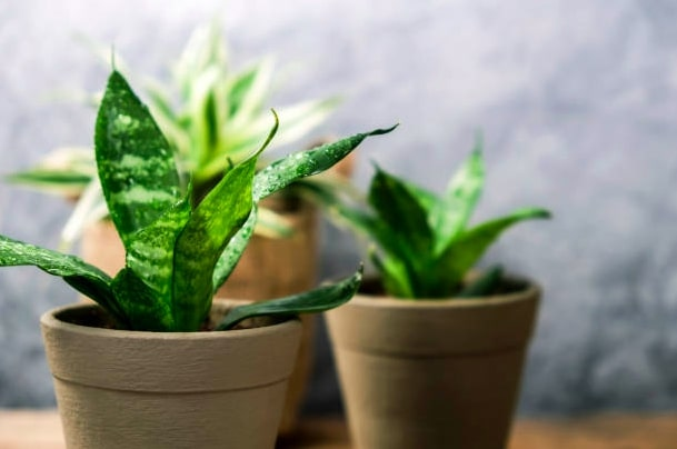 Snake Plant for indoor garden
