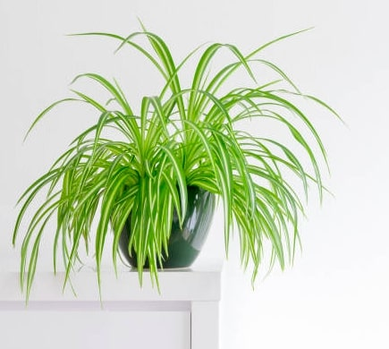 Spider Plant for indoor garden