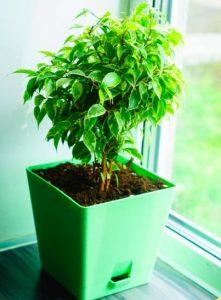 Weeping Fig for indoor garden