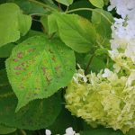 Brown Spots On Hydrangeas - What Does It Mean & How To Treat It?