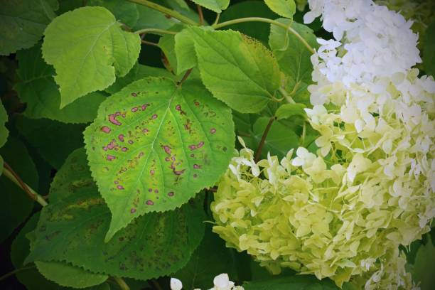 Cercospora leaf spot on hydrangeas