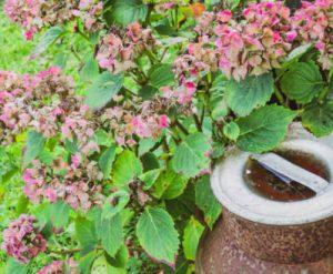 Hydrangea rust (Pucciniastrum hydrangea)