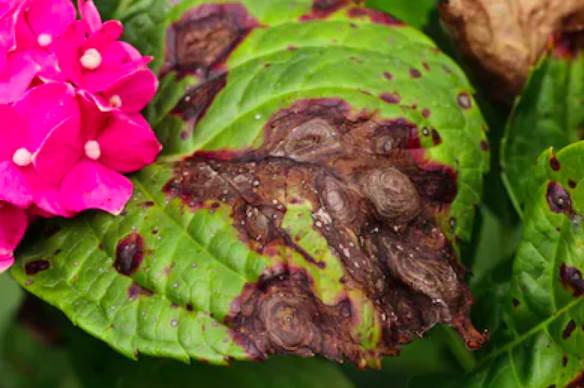 hydrangea Anthractnose