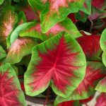 Caladiums - How To Take Care Of These Plants?