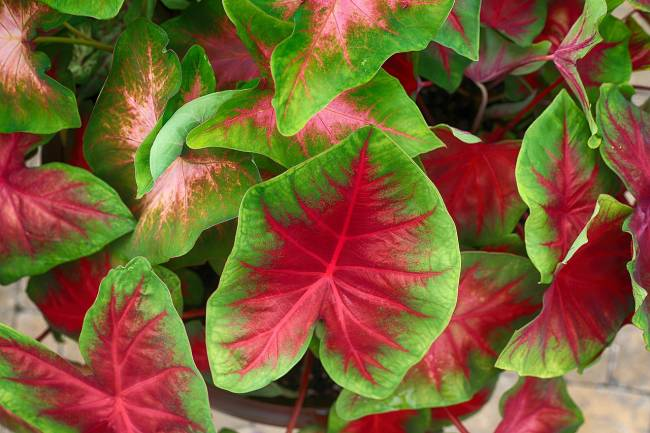 Caladium- How to Take Care about this Plant