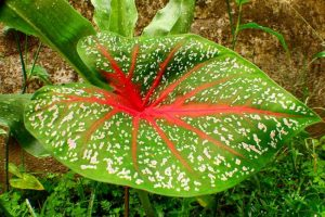 Caladium- How to grow this plant