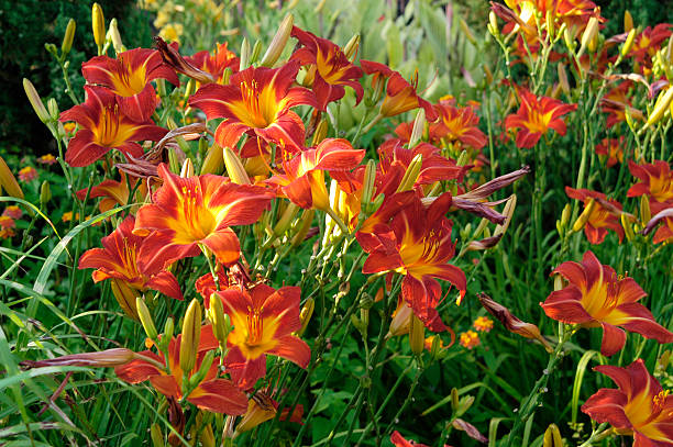 Daylilies Deadheading – When and How Should You Do It