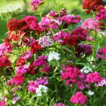 Carnations - How To Plant And Grow? All You Need To Know