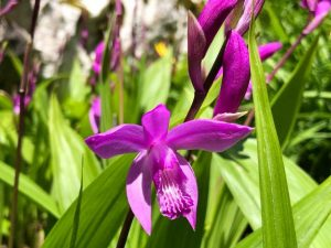 Laelia - what is it, how to plant and care