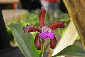 How to grow and flourish Laelia orchids:
