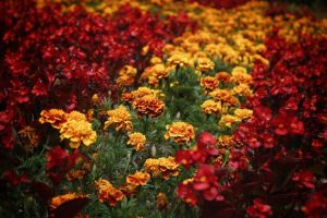 MARIGOLDS deadheading - how to do it