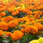 Marigolds Deadheading - When And How Should You Do It?
