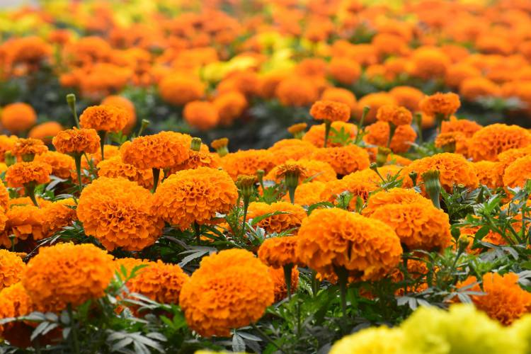 MARIGOLDS deadheading - when to do it