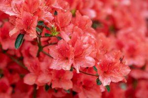 Rhododendrons vs Azaleas