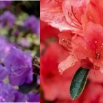 Rhododendron vs. Azalea - What Are The Differences?