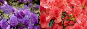 Rhododendrons vs Azaleas differences