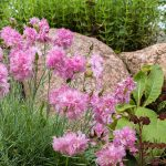 Dianthus Deadheading: When And How Should You Do It?
