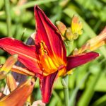 Daylilies Deadheading – When and How Should You Do It?
