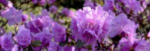 all azaleas are rhododendrons not all rhododendrons are azaleas