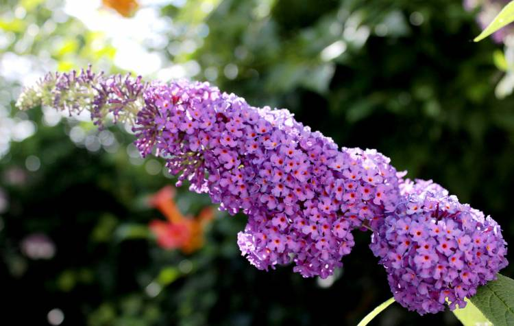 Deadheading Butterfly Bush – When should you do it