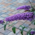Butterfly Bush Deadheading - When And How Should You Do It?