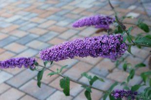 Deadheading Butterfly Bush – how should you do it