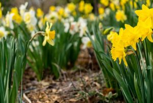 Growing daffodils - when to plant