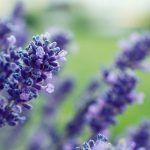 Lavender Deadheading - When & How Should You Do It?