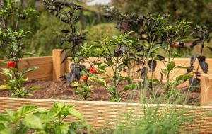 ANTS IN RAISED GARDEN BED – causes, how to get rid