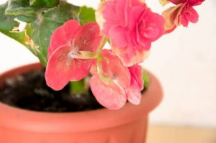 My begonia broke off – causes, what should I do