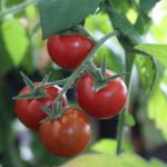 Why Are My Tomatoes Falling Off The Vine?