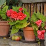Why Is My Begonia Dropping Leaves? (5 Causes & Solutions)