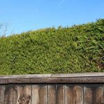 Why Is My Conifer Hedge Going Brown? [4 Reasons]