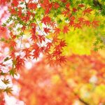 Why Is My Japanese Maple Not Blooming? - 8 Causes