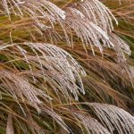 Ornamental Grass Looks Dead - 6 Causes (With Cures)