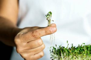 Can You Grow Microgreens on Paper Towel