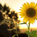 How To Revive A Dying Sunflower Plant? - 7 Things Everyone Can Do