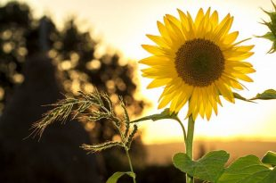 How to Revive a Dying Sunflower Plant