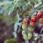 Why Are My Tomatoes Floury? - 5 Common Reasons