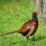 Why Is There A Pheasant In My Garden?