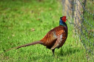 Why is there a pheasant in my garden