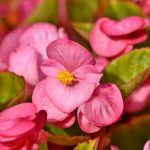 Best 6 Flowers To Plant With Begonias - Our Favorites